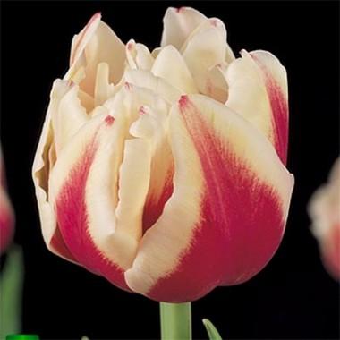Тюльпан Zizanie фото