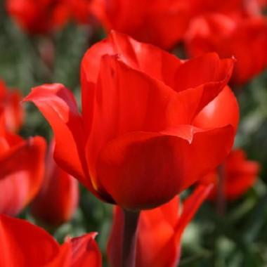 Тюльпан Bernadette фото