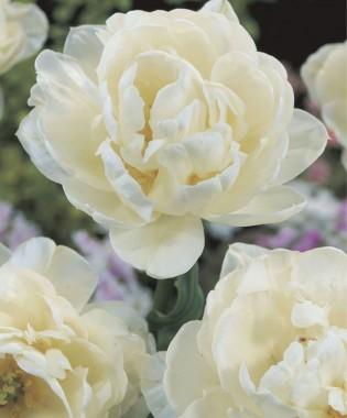 Тюльпан Up White описание