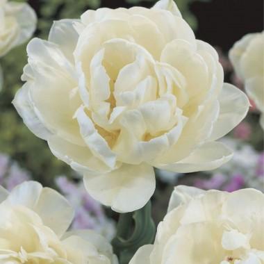 Тюльпан Up White почтой