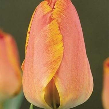 Тюльпан Fringed Solstice в киеве