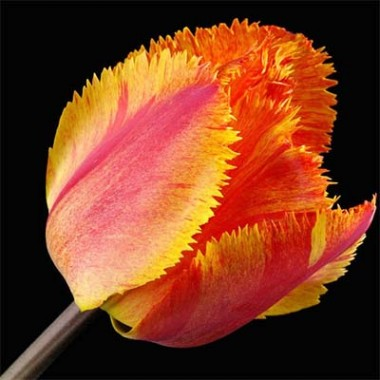 Тюльпан Fringed Solstice почтой