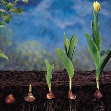 Многоцветные тюльпаны купить