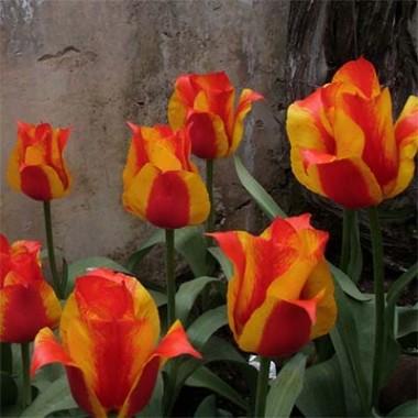 Тюльпан Kiev купить онлайн