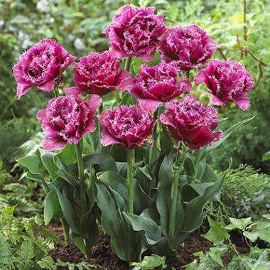 Тюльпан Mascotte  фото