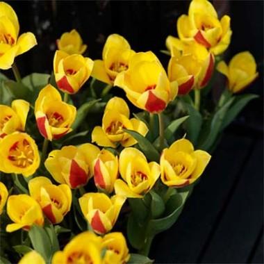 Тюльпан Stresa фото цена