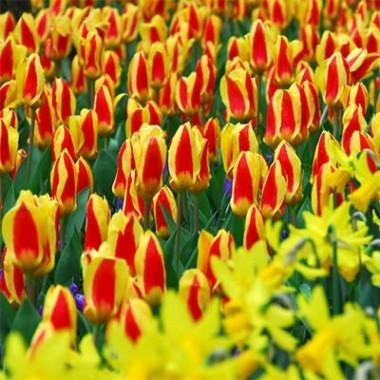 Тюльпан Stresa купить онлайн