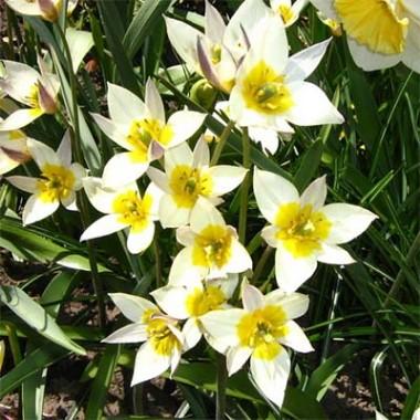 Тюльпан Turkestaniсa фото цена