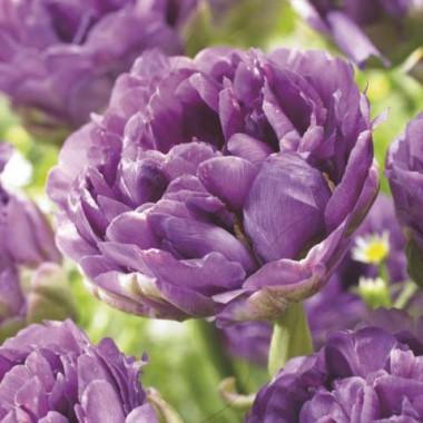 Тюльпан Blue Wow фото
