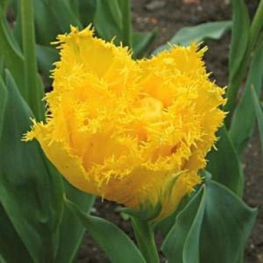 Тюльпан Mon Amour  в киеве