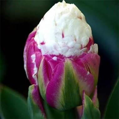 Тюльпан Ice Cream фото