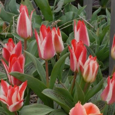 Тюльпан Czaar Peter в киеве