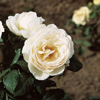 Роза плетистая Uetersener Klosterrose смотреть