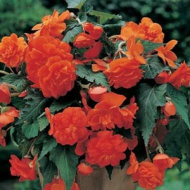 Бегония Cascade Orange фото