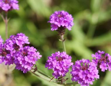 Вербена Homestead Purple фото