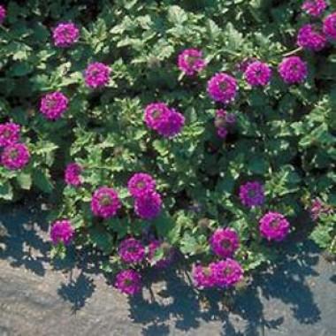 Вербена Homestead Purple описание