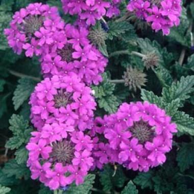 Вербена Homestead Purple фото цена