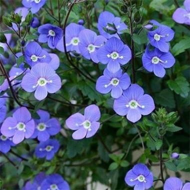 Вероника Georgia Blue почтой