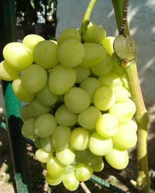 Виноград Аркадия  интернет-магазин