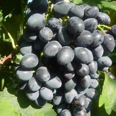 Виноград Надежда АЗОС  купить онлайн
