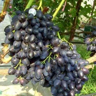Виноград Надежда АЗОС  фото