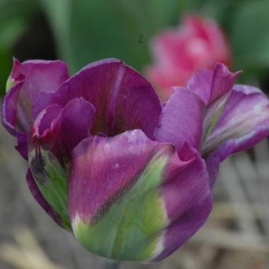 Тюльпан Violet Bird фото