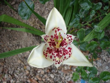 Тигридия Alba Grandiflora смотреть