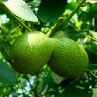 Орех буковинской селекции (сеянец) купить онлайн
