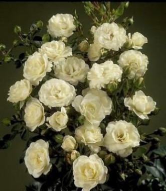 Роза Waltz  почтой
