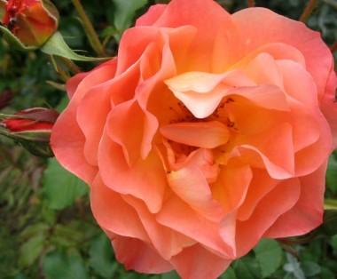 Роза плетистая Westerland смотреть