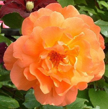 Роза плетистая Westerland купить онлайн