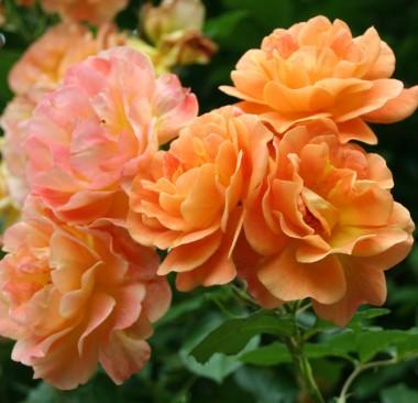 Роза плетистая Westerland интернет-магазин