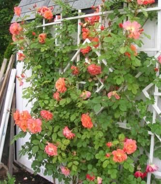 Роза плетистая Westerland фото