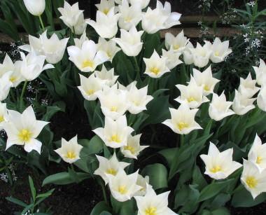 Тюльпан White Elegance фото цена