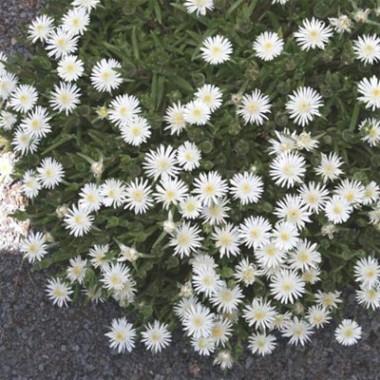 Делосперма White Pearl фото