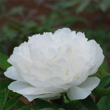 Пион White Snow Bai Xue Gong Zhu древовидный смотреть