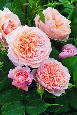 Роза William Morris фото
