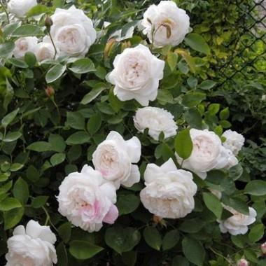 Роза Winchester Cathedral почтой