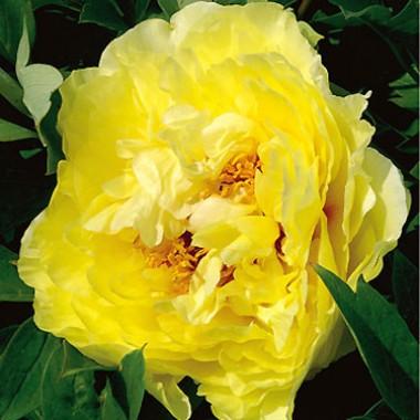 Пион ITOH Yellow Crown описание
