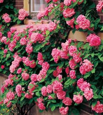Роза Zephrine Drouhin в киеве