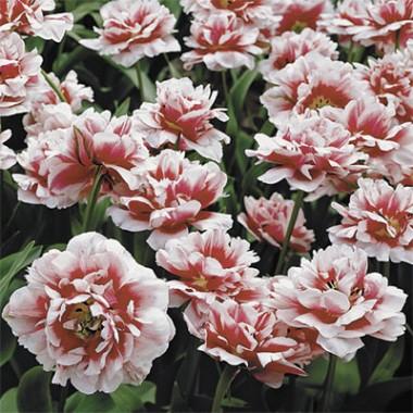 Тюльпан Gerbrand Kieft фото цена