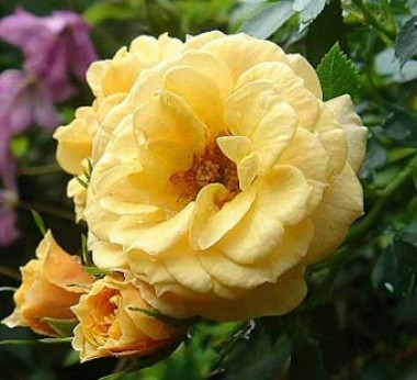 Роза плетистая Zorba смотреть