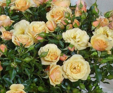 Роза плетистая Zorba в киеве