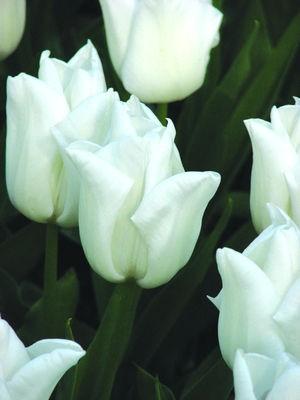 Тюльпан Kiwanis фото