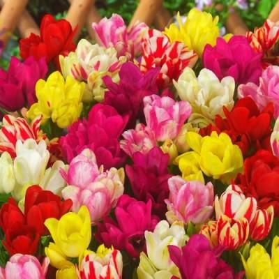 Тюльпан Семейные Микс фото