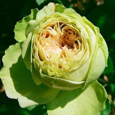Роза Lovely Green фото