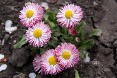 Маргаритка розовая фото