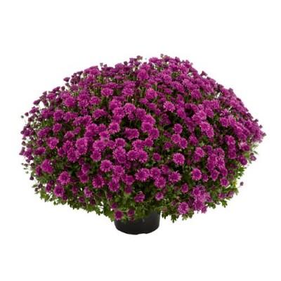 Хризантема Araxa Purple фото
