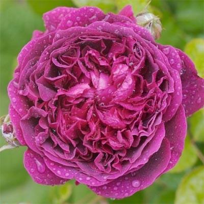 Роза William Shakespeare 2000 фото