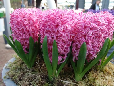 Гиацинт Pink Pearl фото
